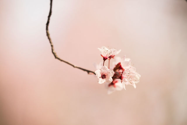 Cherry Blossom, Calistoga, California, Photo