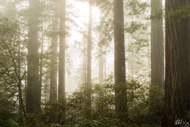 Lady Bird Johnson Grove Redwoods in Fog, Redwood National Park, California, Photo