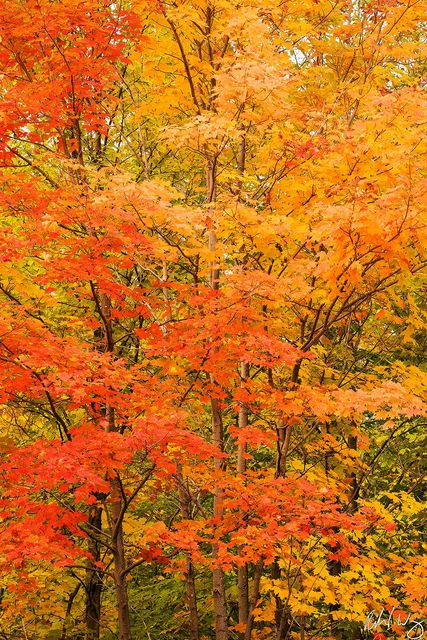 Maple Trees Peak Fall Color at Smugglers Notch, Mount Mansfield State Forest, Vermont, Photo