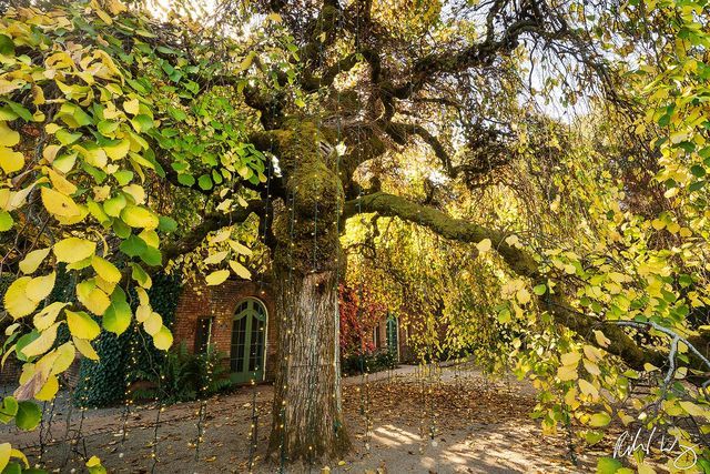 Christmas Lights on Camperdown Elm Tree at Filoli Garden, Woodside, California, Photo