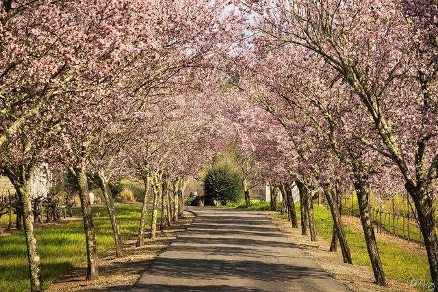 Cherry Tree Blossoms in Driveway, Calistoga, California, Photo