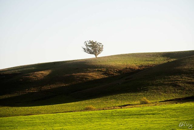 Tree on Hill With Afternoon Sidelighting, Valley Ford, California, Photo