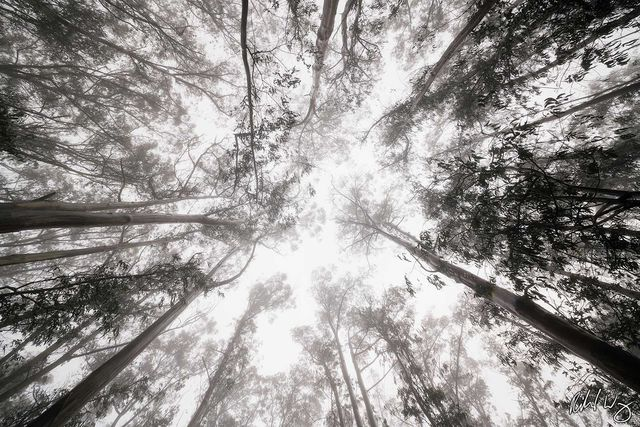 Foggy Eucalyptus Forest Tree Canopy, San Francisco, California, photo