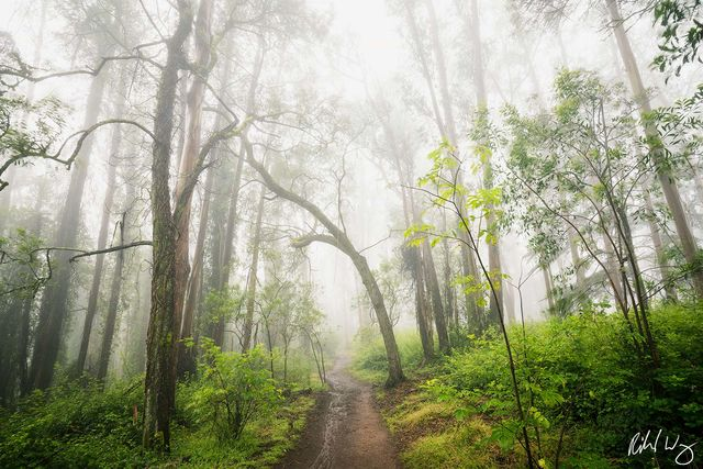 Hiking Trail Through Foggy Eucalyptus Forest, San Francisco, California, photo