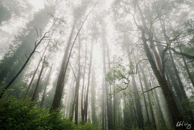 Foggy Eucalyptus Forest, San Francisco, California, photo