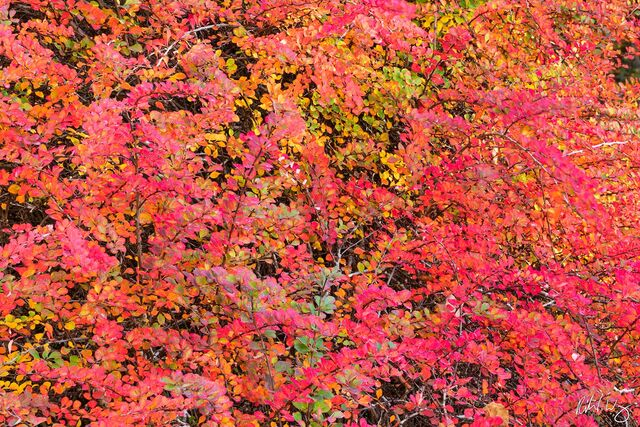 Peak Fall Foliage in Asian Garden, UC Berkeley Botanical Garden, California, photo