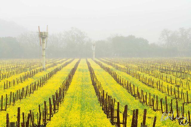 Winter Vineyard Mustard Bloom, Yountville, California, photo