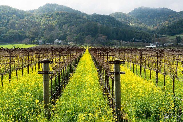 Sleeping Lady Vineyard Mustard Bloom, Yountville, California, photo