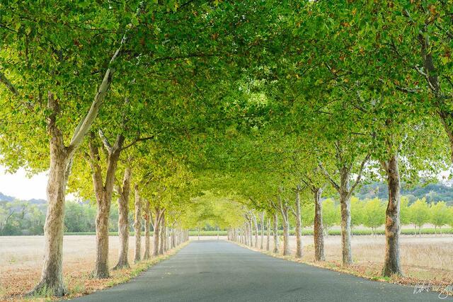 Tree-Lined Road, Sonoma County, California, photo