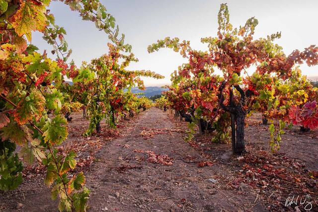 Vineyard Fall Colors, Alexander Valley AVA, California, photo
