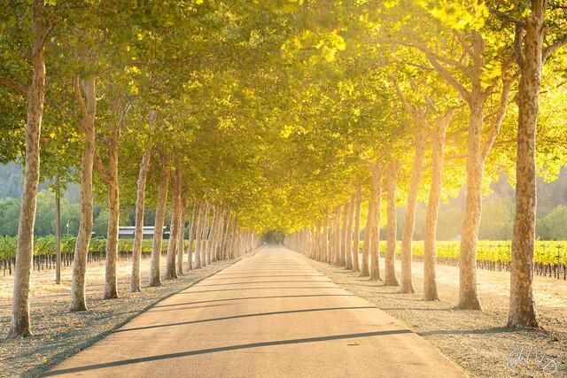 Tree-Lined Road in Vineyard, Napa Valley, California, photo