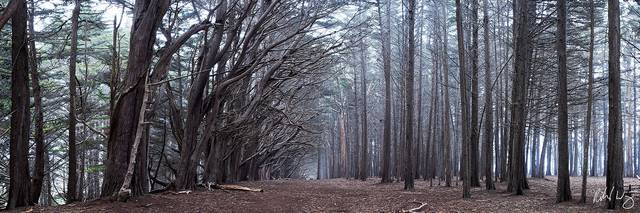 Monterey Cypress Tree Forest Panoramic Photo at James Fitzgerald Marine Reserve, Moss Beach, California