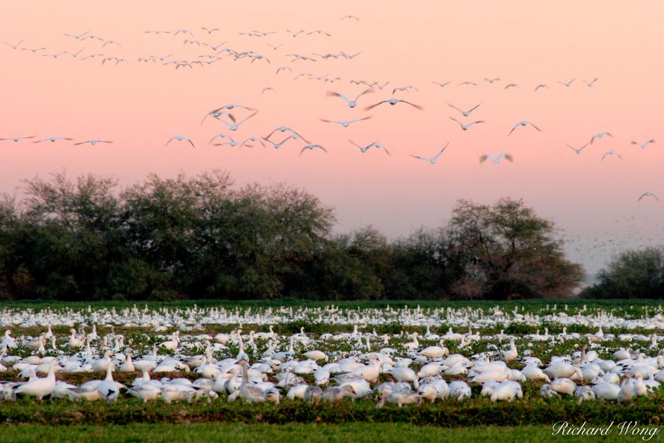 Flying Snow Geese at Twilight print