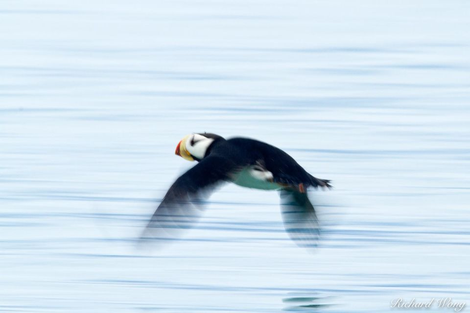 Horned Puffin print