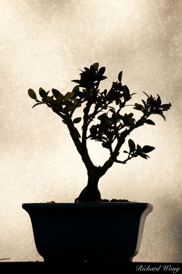 Bonsai Shadows print