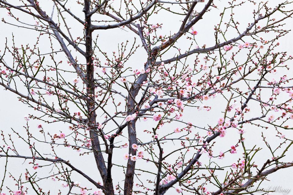 Chinese Garden Cherry Blossoms print