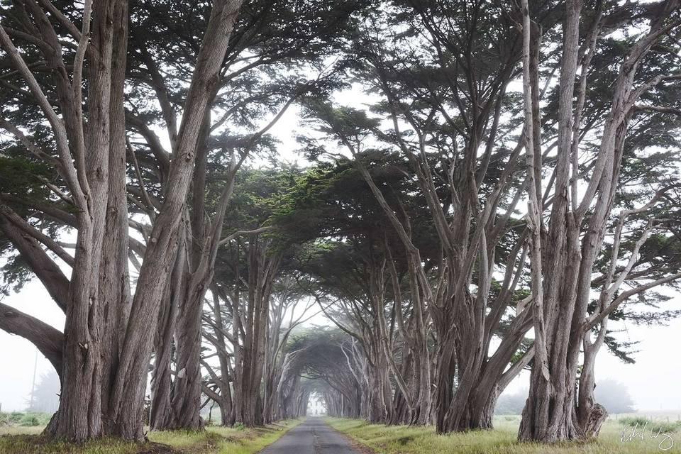 Cypress Tree Tunnel print