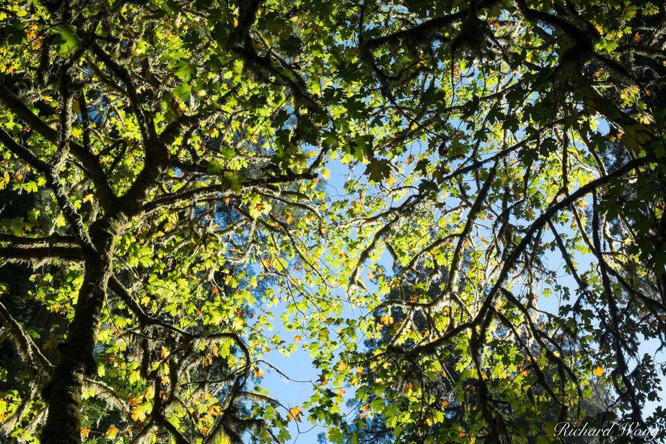 Big Leaf Maples print