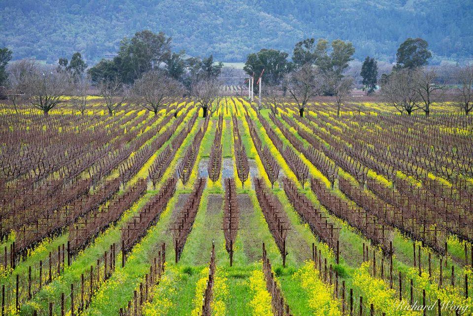 Napa Vineyards in Winter print