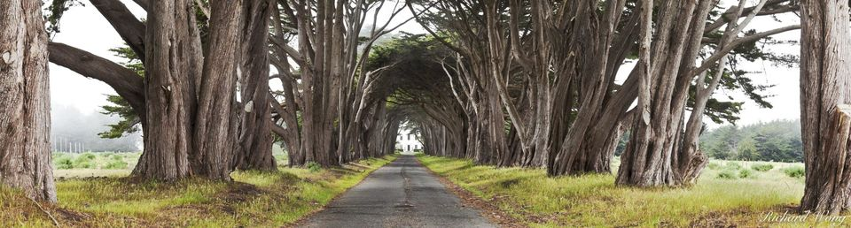 Monterey Cypress Tree Tunnel Panoramic Photo, Point Reyes National Seashore, California, photo
