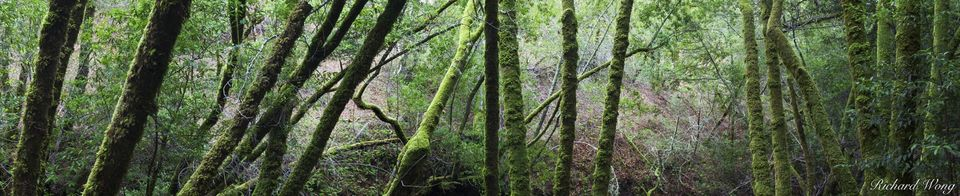 Mossy Forest Panoramic Photo, Cascade Canyon Open Space Preserve, California, photo