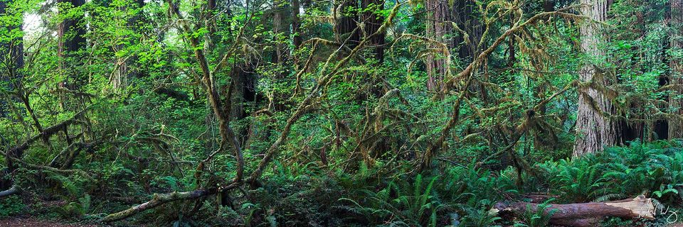 Panoramic Photo of Dense Temperate Rainforest, Prairie Creek Redwoods State Park, California, photo
