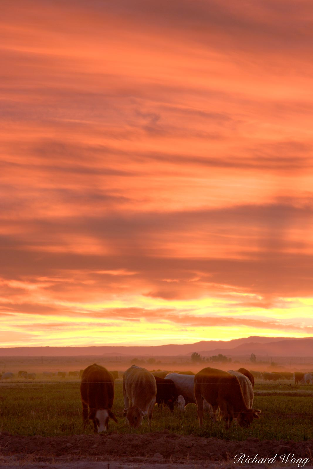 Cattle Grazing at Sunset, Sonny Bono Salton Sea National Wildlife Refuge, California, photo, photo