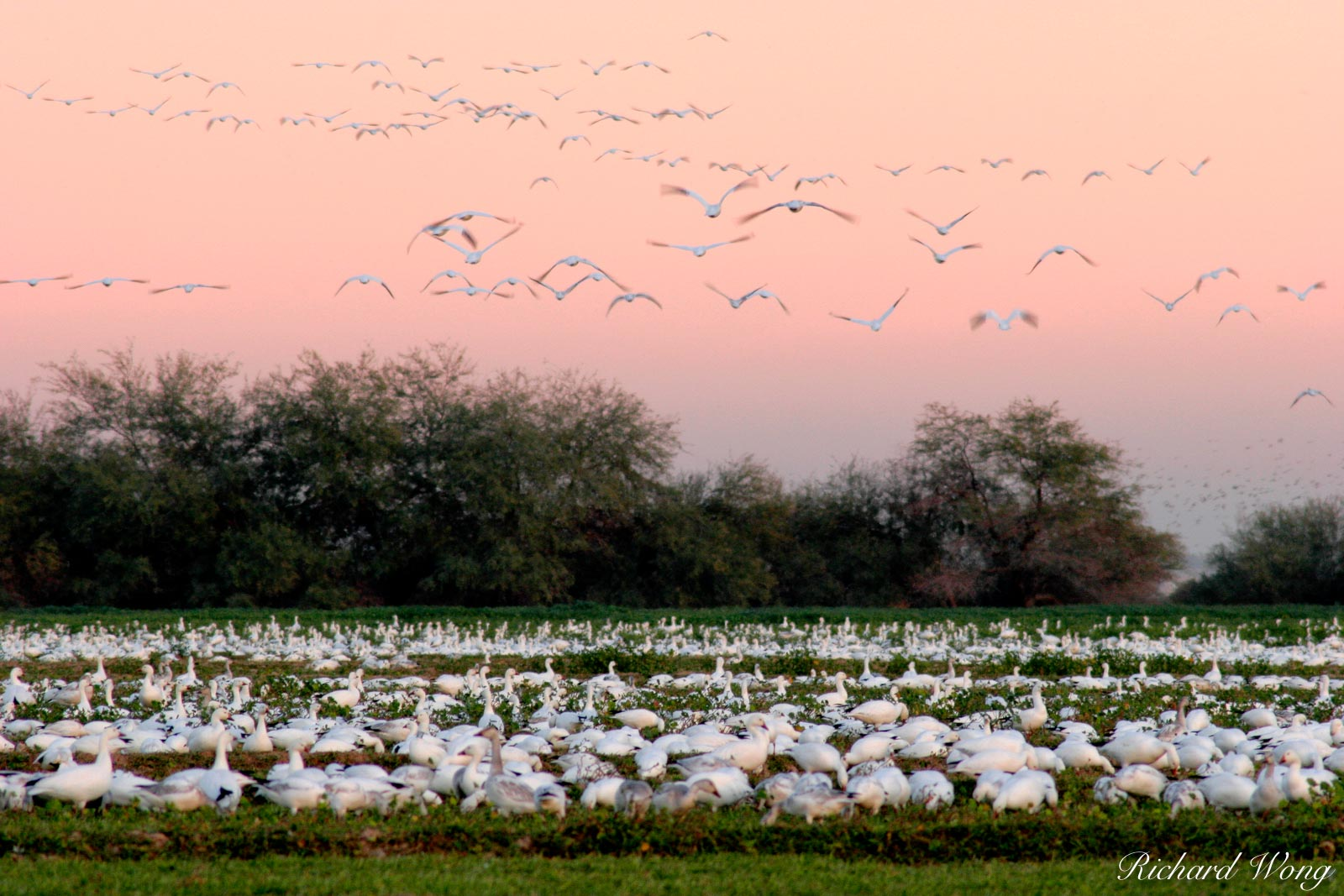 Flying Snow Geese at Twilight, Sonny Bono Salton Sea National Wildlife Refuge, Westmorland, California, photo, photo