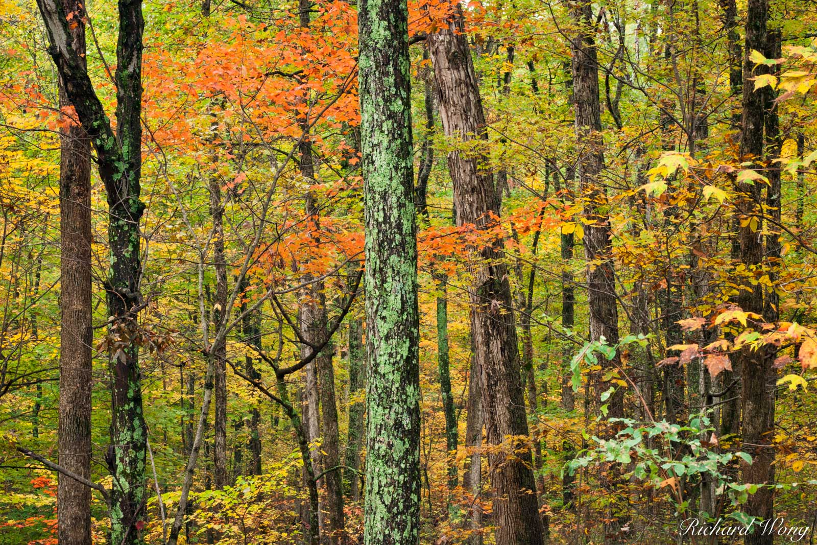 Maple Trees in Fall at the Bernheim Forest, Clermont, Kentucky, photo, photo