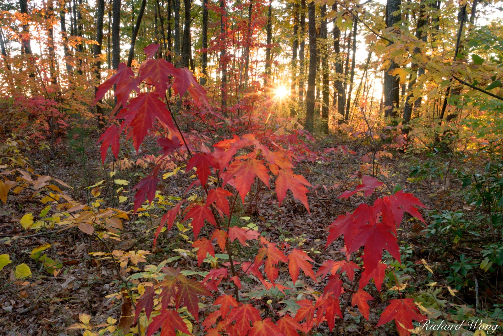Sunset Through Fall Foliage on Gray's Arch Trail at the Red River Gorge Geological Area, Daniel Boone National Forest, Kentucky, photo, photo