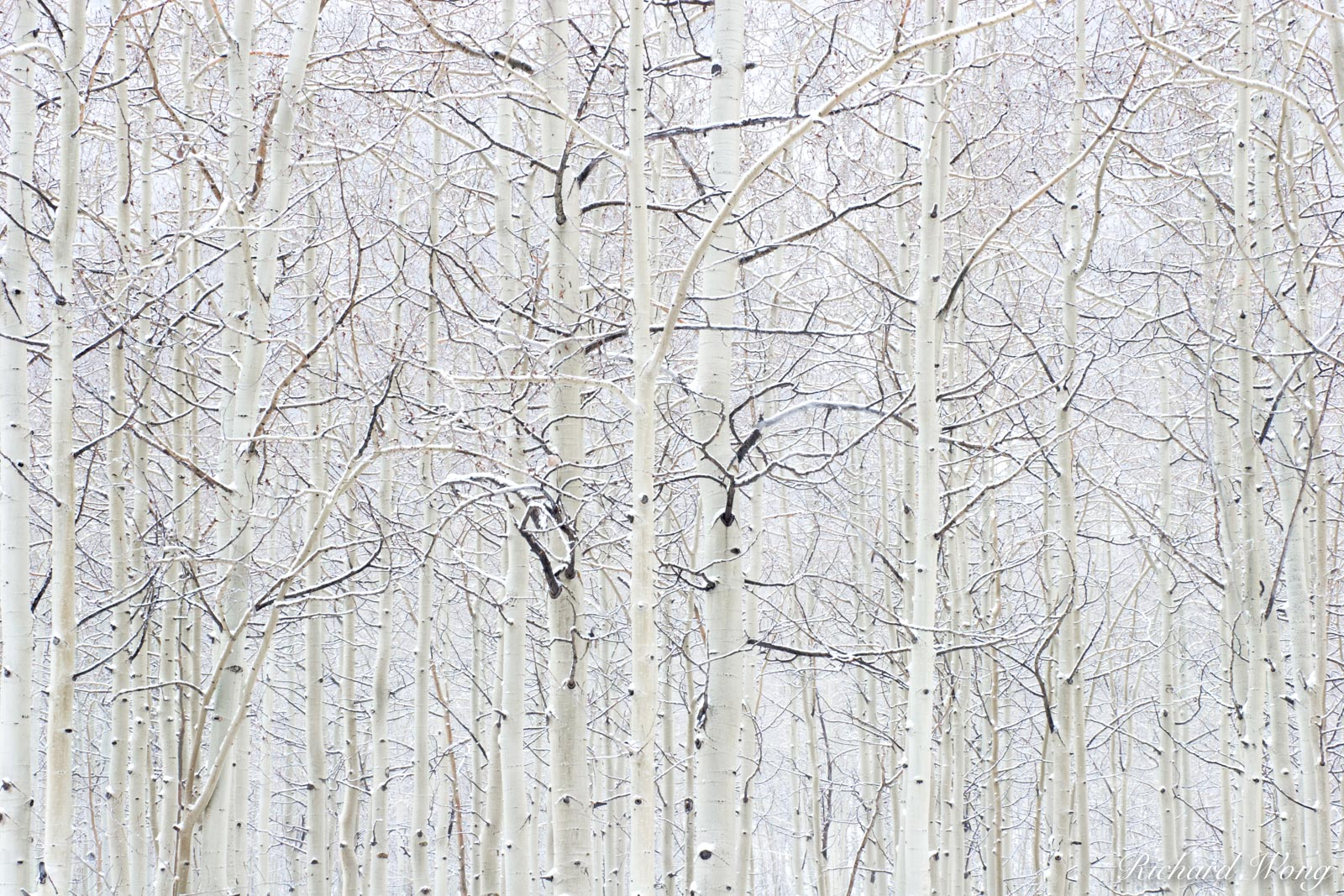 Aspen Trees in Snowstorm near Maroon Bells, White River National Forest, Colorado, photo, photo