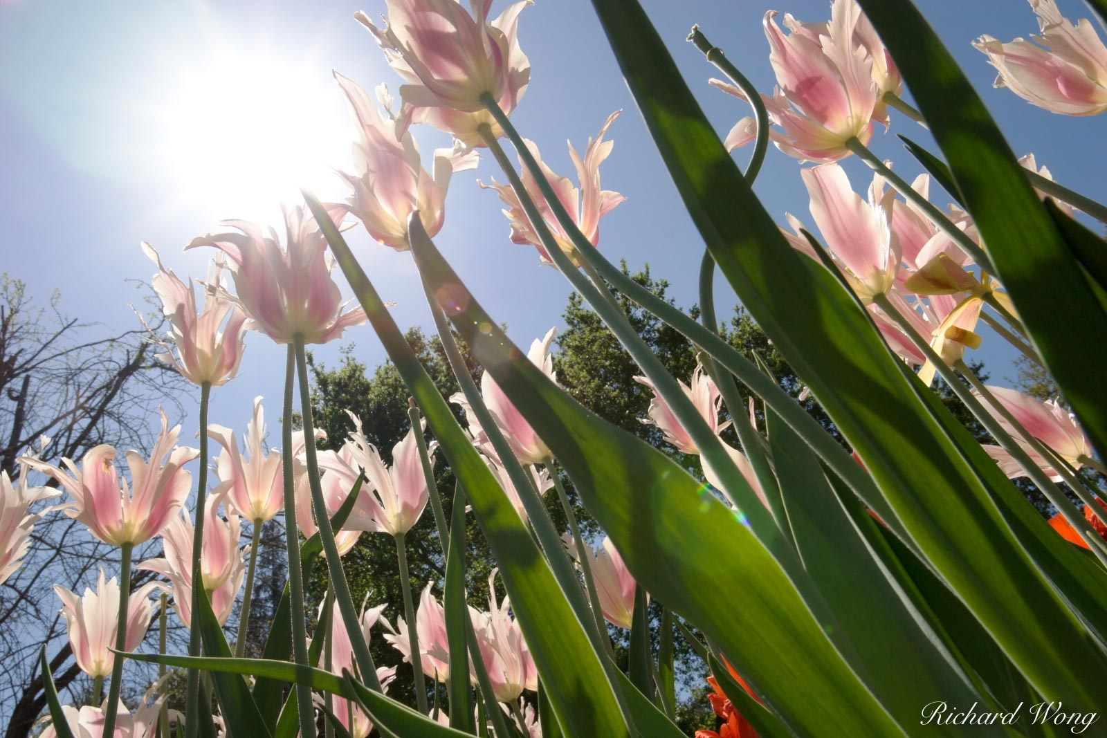 Tulips Basking in Sunshine at Descanso Garden, La Canada Flintridge, California, photo, photo