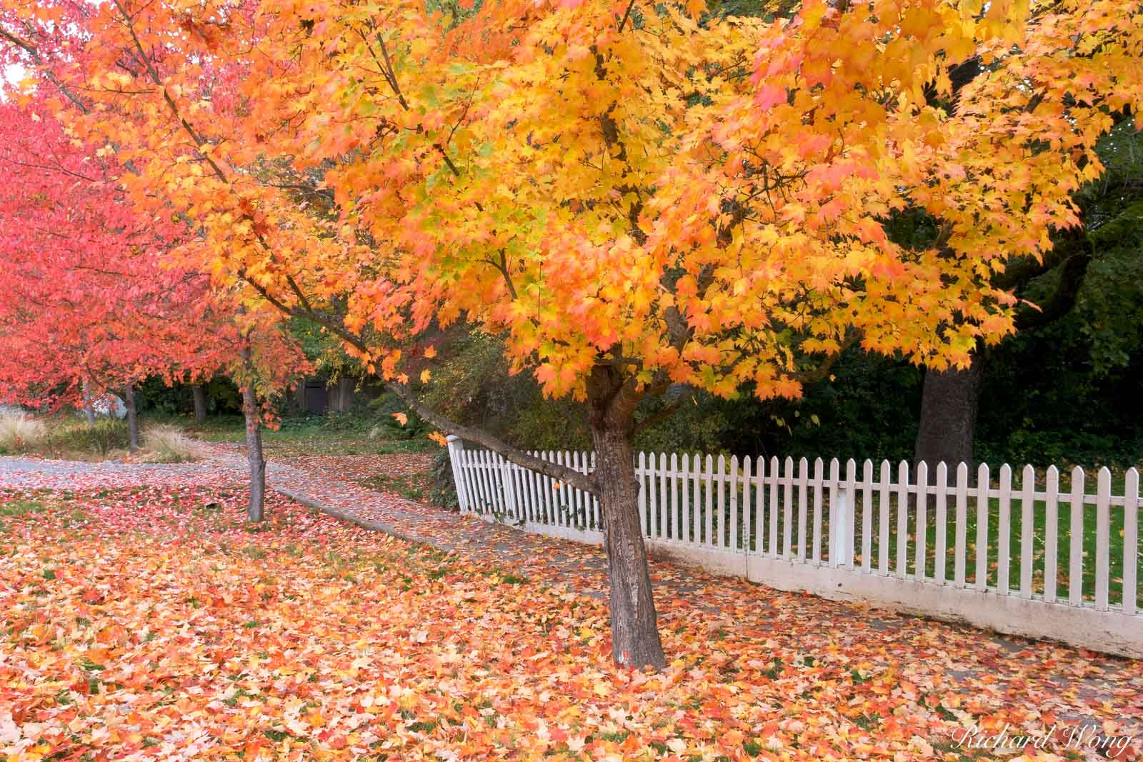Maple Trees in Fall, Nevada City, California, photo, photo