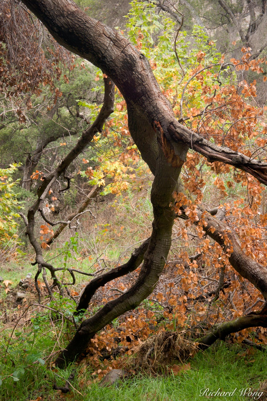 Doggy Style, Fallen Oak Tree in San Dimas Experimental Forest, San Gabriel Mountains, California, photo, photo
