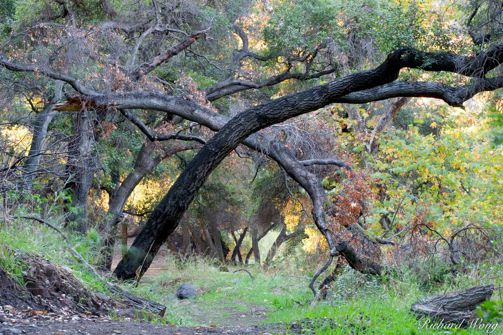 Oak Tree Forest, San Dimas Experimental Forest, Glendora, California, photo, photo