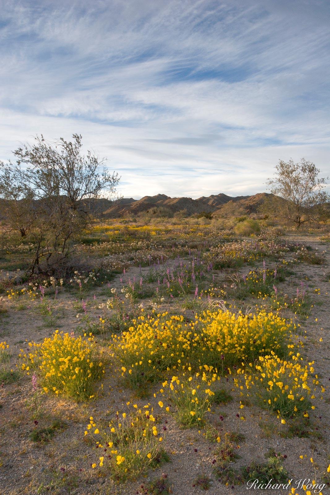 Spring Wildflowers, Joshua Tree National Park, California, photo, photo