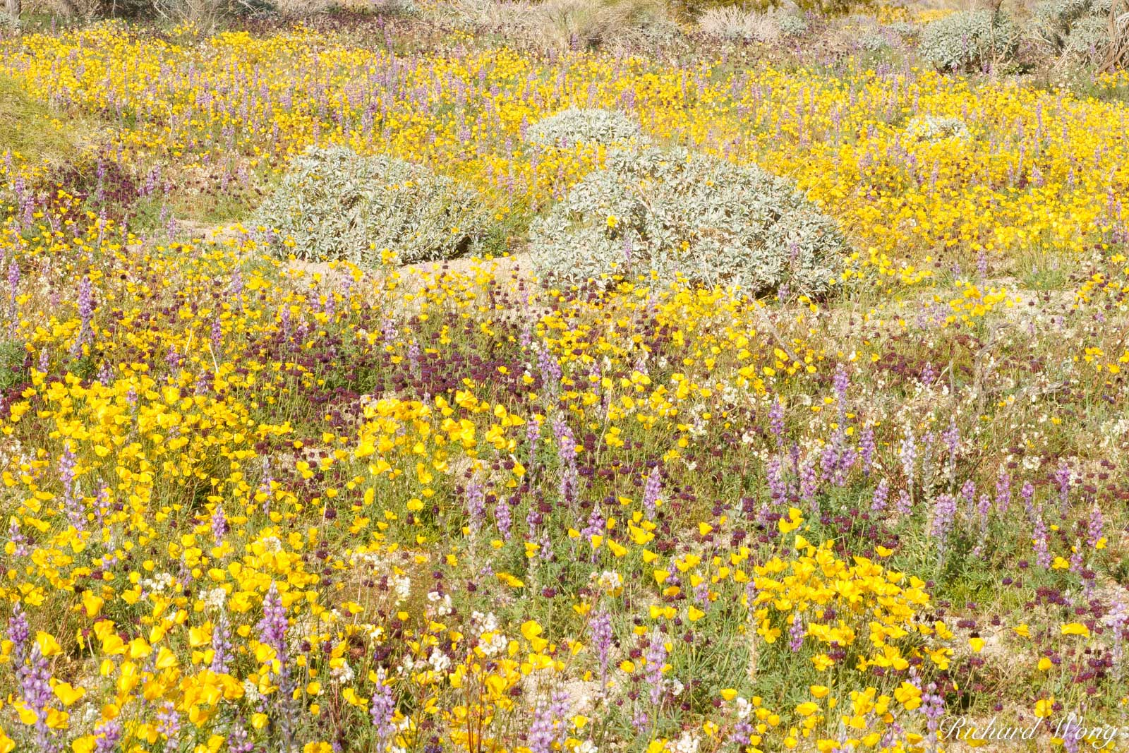 Golden Poppies and Lupine Spring Wildflowers, Joshua Tree National Park, California, photo, photo