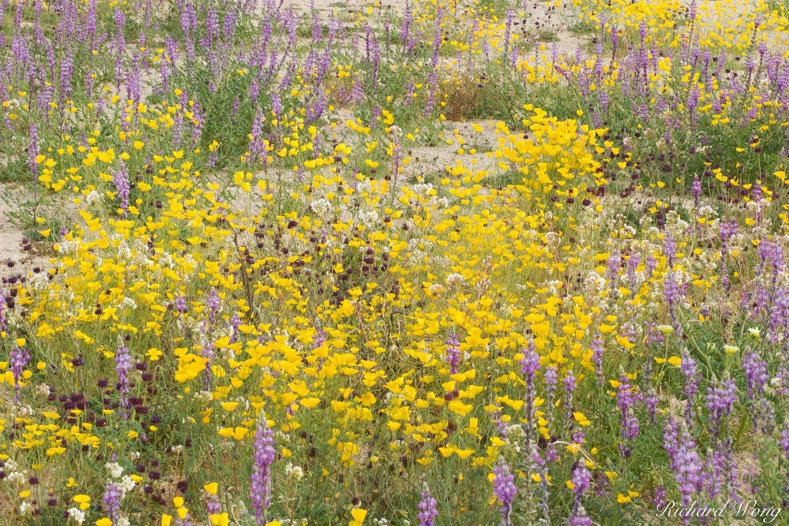 Spring Wildflowers, Joshua Tree National Park, California