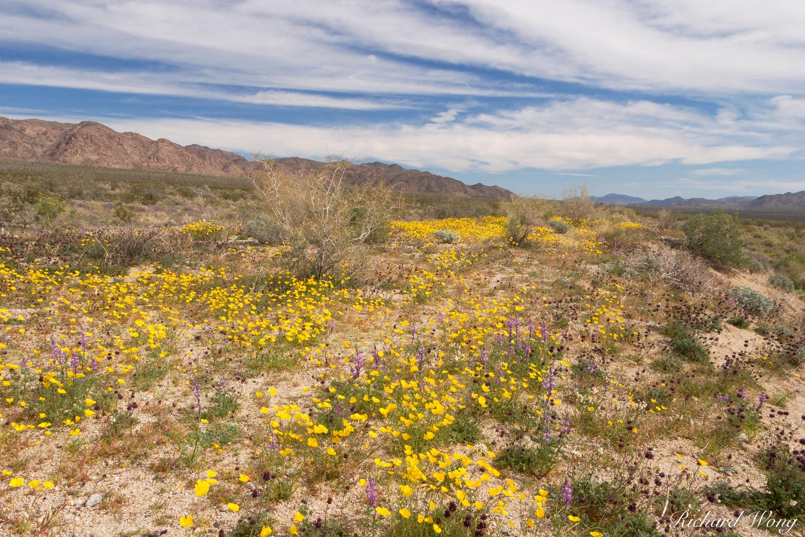 Golden Poppies and Lupines near Cottonwood Entrance, Joshua Tree National Park, California, photo, photo
