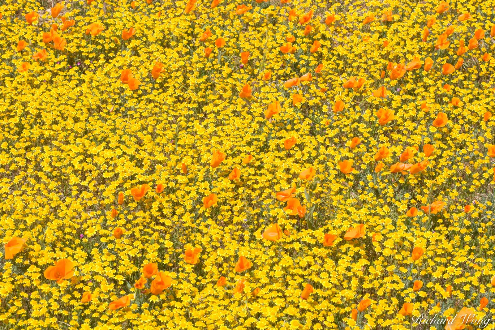Goldfields and Golden Poppies, Antelope Valley Poppy Reserve, California, photo, photo