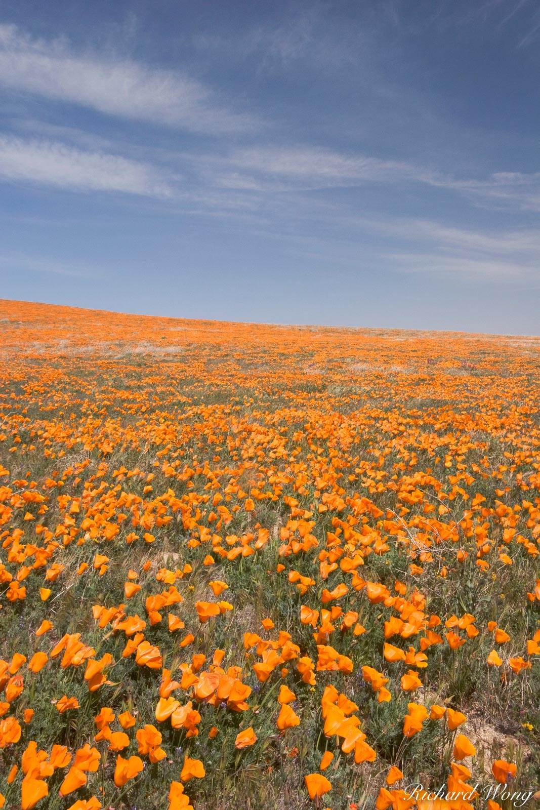 Heavily Wind-Blown Golden Poppies, Antelope Valley Poppy Reserve, California, photo, photo