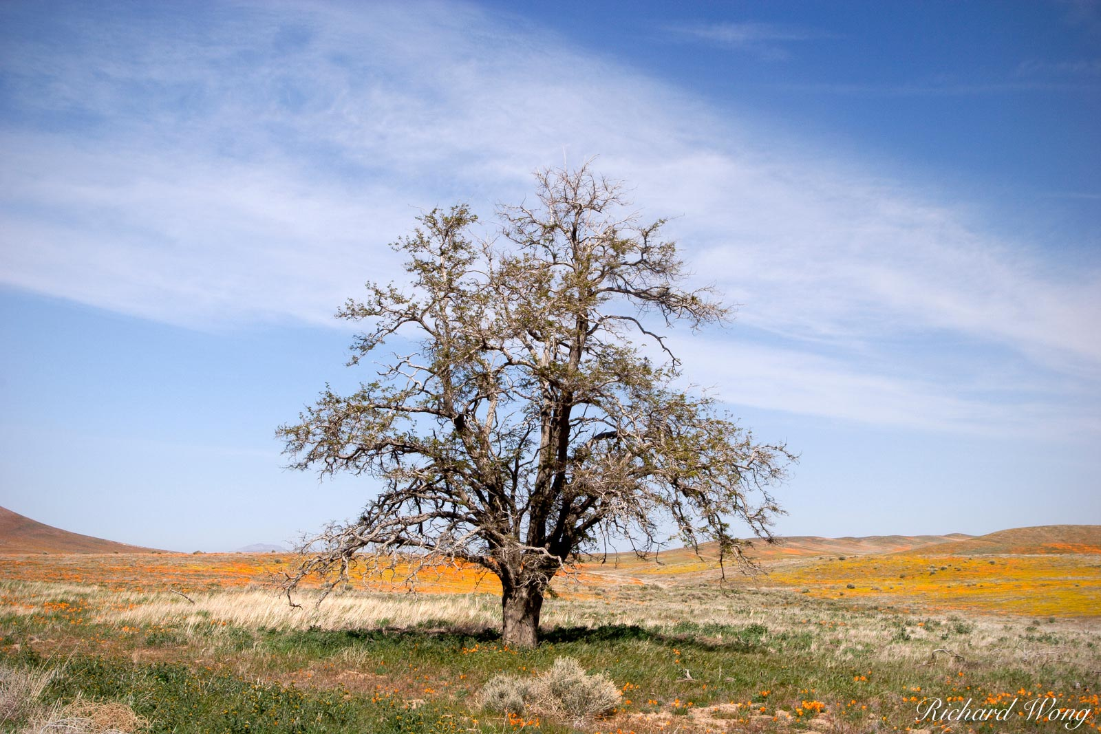 Tree in the Antelope Valley Poppy Reserve, California