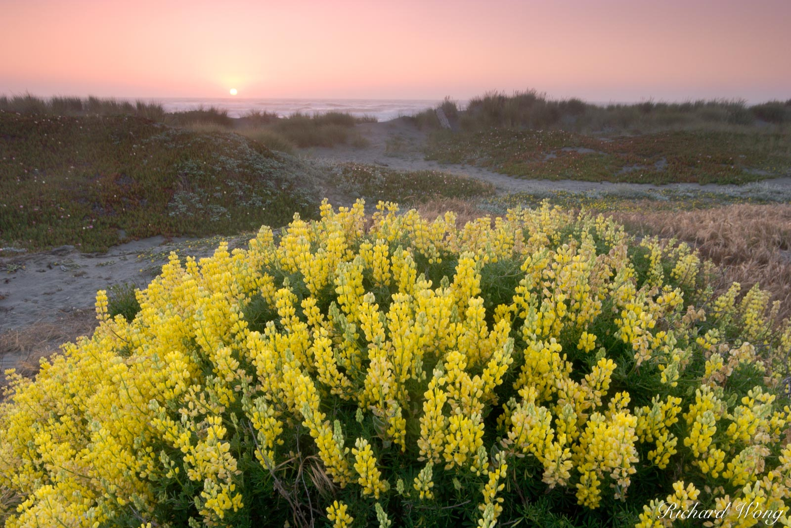 Bush Lupine at Sunset, Samoa Dunes Recreation Area, California, photo, photo