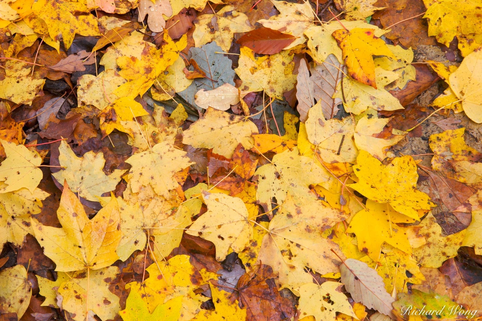 Fallen Yellow Autumn Leaves, Bernheim Forest, Kentucky, photo, photo