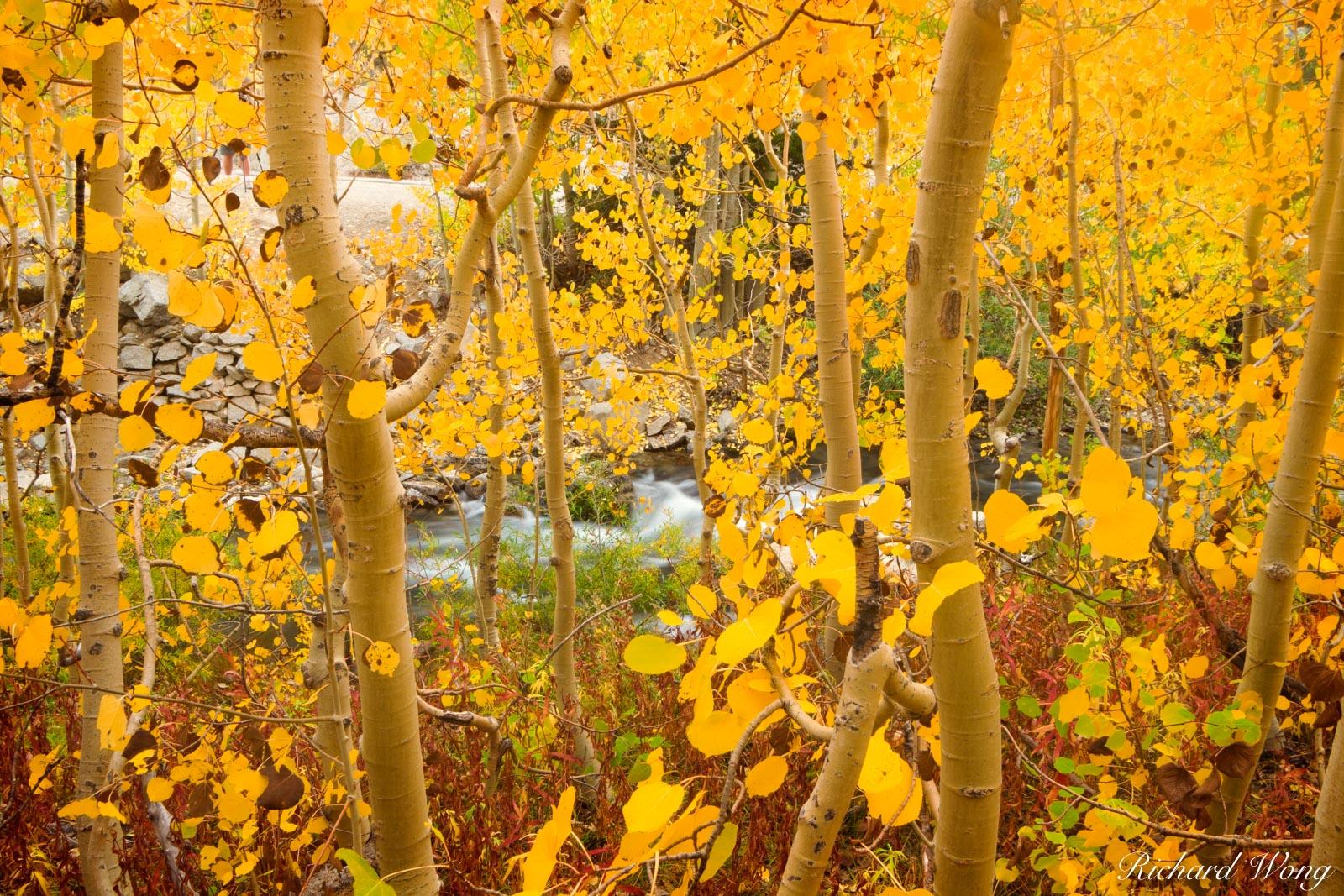 Yellow Aspen Fall Foliage Along Bishop Creek, Inyo National Forest, California, photo, photo