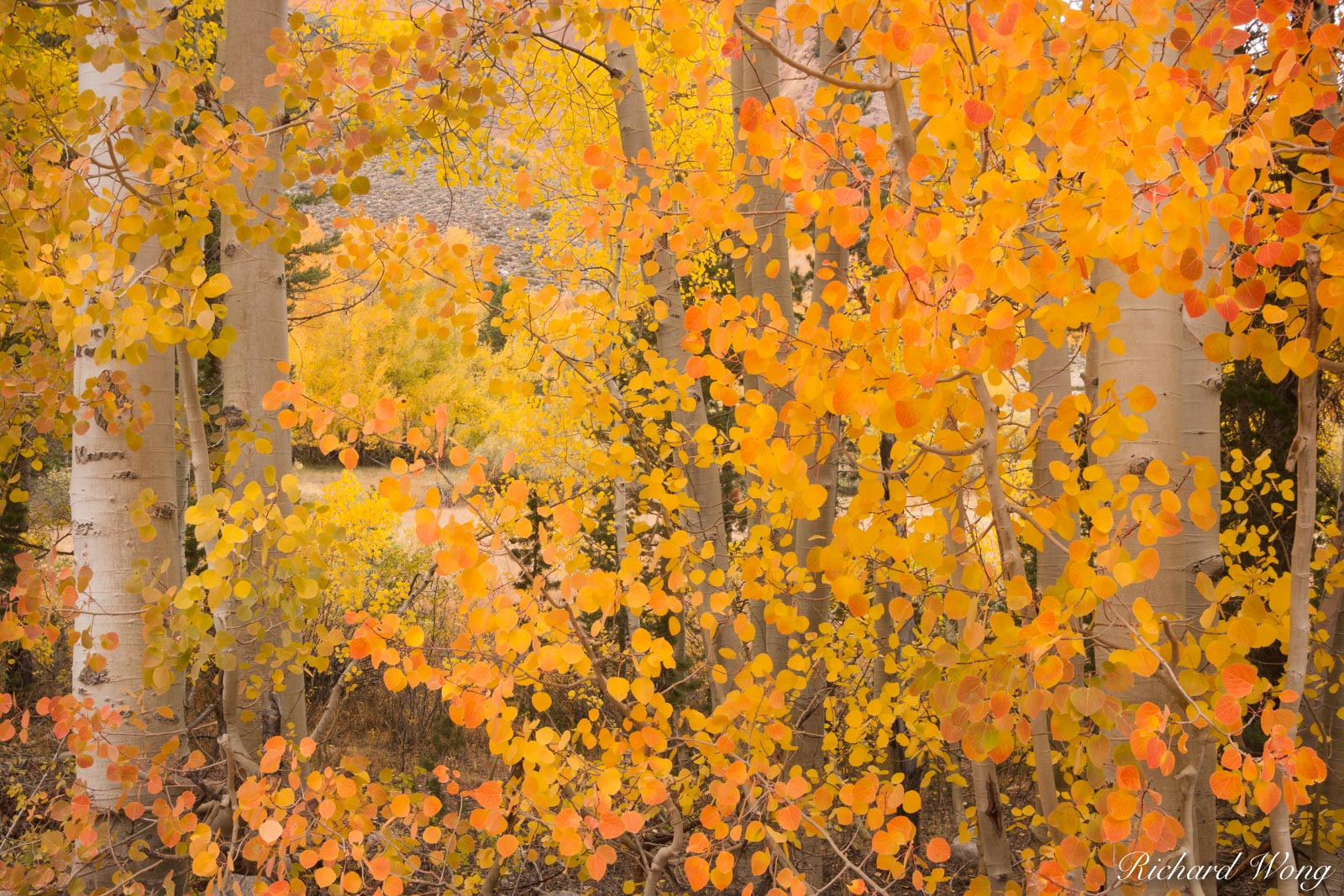 Aspen Trees at North Lake, Eastern Sierra, California, photo, photo