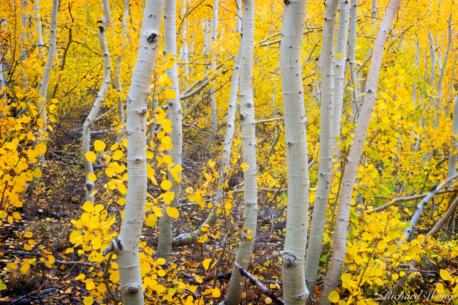 Aspen Trees Fall Foliage, South Fork Bishop Creek, Eastern Sierra, California