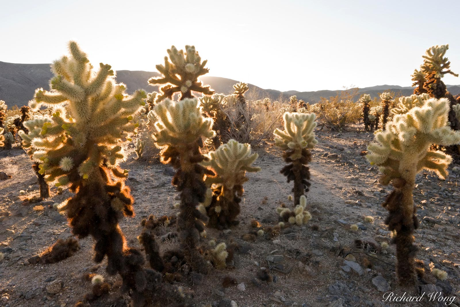 Backlit Jumping Cholla Cactus, Joshua Tree National Park, California, photo, photo