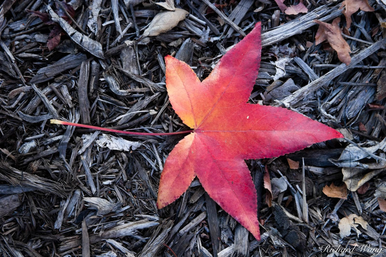 Fallen Red Leaf of Liquid Amber, Glendora, California, photo, photo