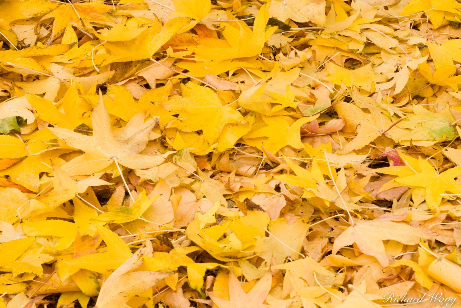 Fallen Liquid Amber Autumn Leaves, Glendora, California, photo, photo